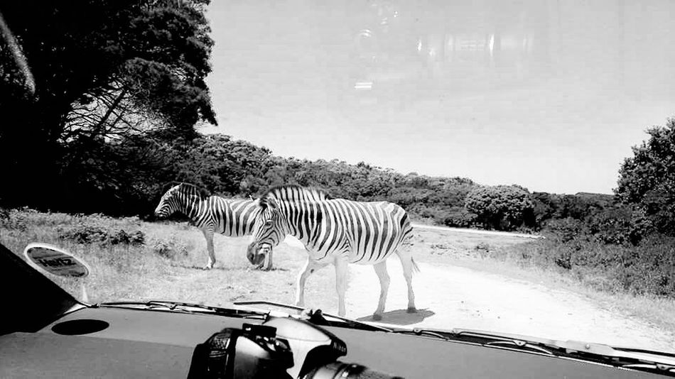 Car Animal Themes Transportation Zebra No People Animals In The Wild Animal Wildlife Safari Animals Day Mammal Nature Outdoors Tree traveling africa