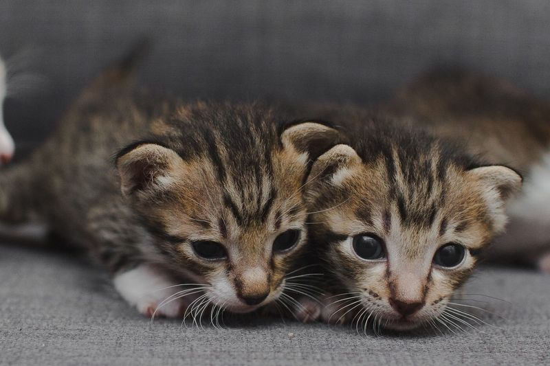 Couple Cats New Born Animal Cats Tigers Look At Me Brother & Sister Kittens EyeEm Selects Animal Animal Themes Mammal One Animal Vertebrate No People Animal Wildlife Close-up Portrait Feline Pets Cat Animal Body Part Lying Down Focus On Foreground Whisker Relaxation Young Animal Cute