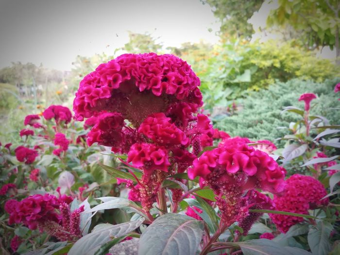 Beauty In Nature Bunch Of Flowers Close-up Day Flower Flower Arrangement Flower Head Flowering Plant Focus On Foreground Fragility Freshness Growth No People Outdoors Pink Color Plant Part Sky