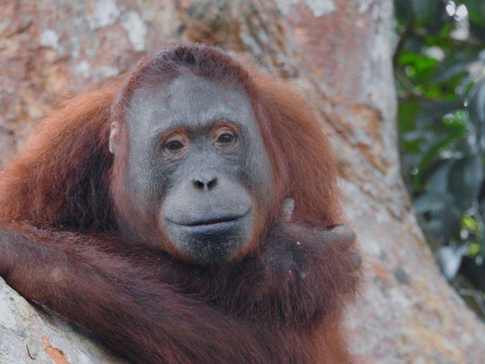 Orang Hutan - orang utan. They are very much like us human. EyeEm Selects Orangutan Orang Hutan Man Man Of The Forest Forest INDONESIA Kalimantan Jungle Ape