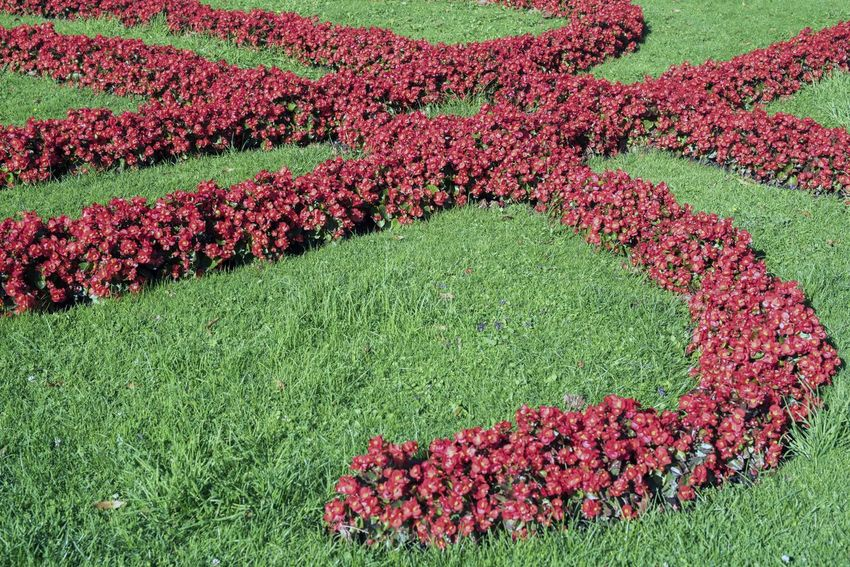 Begonia Flower Garden Flowers Red Beauty In Nature Begonia Day Field Flower Flower Head Flowerbed Freshness Garden Photography Grass Green Color Growth Landscape Nature No People Outdoors Springtime