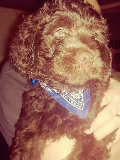 One of our Newfydoodle pups getting big now at 7 weeks Love Cute Puppy Newfoundland + Labradoodle Baby Pets
