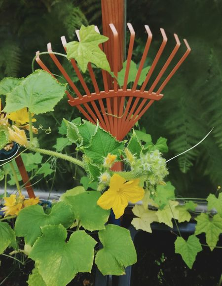 Flower Leaf Freshness Flower Head Close-up Cucumber Plant Rake Green Color Yellow Flower Growth