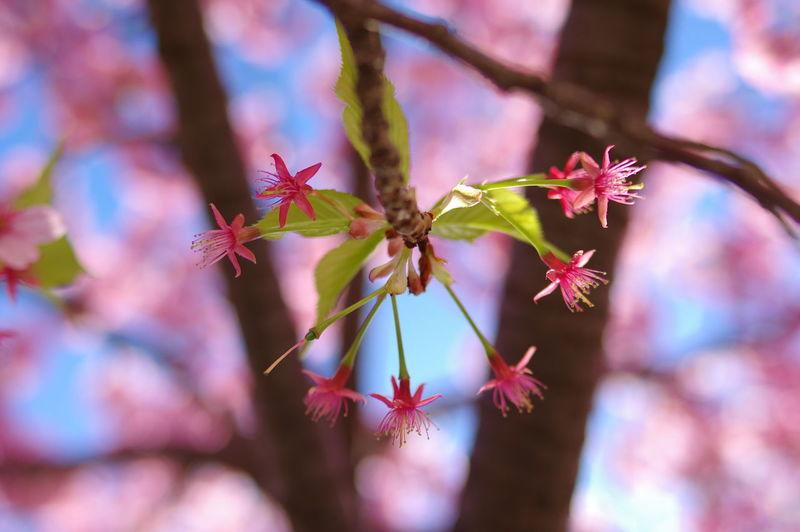河津桜 Plant