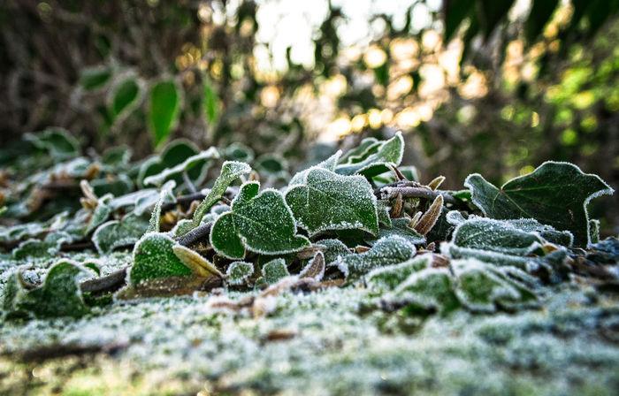 Einen schönen 2. Advent bei Sonnenschein und Eiseskälte 2. Advent Beauty In Nature Brrr..... Day Frost Frosty Green Color Growth Koud Nature Needle - Plant Part No People Outdoors Plant