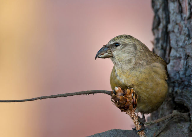 Red crossbill eating silver fir cones Females Green Color Loxia Curvirostra Animal Themes Animal Wildlife Animals In The Wild Beauty In Nature Bird Close-up Crossbill Day Nature No People One Animal Outdoors Perching Red Crossbill Yellow Color