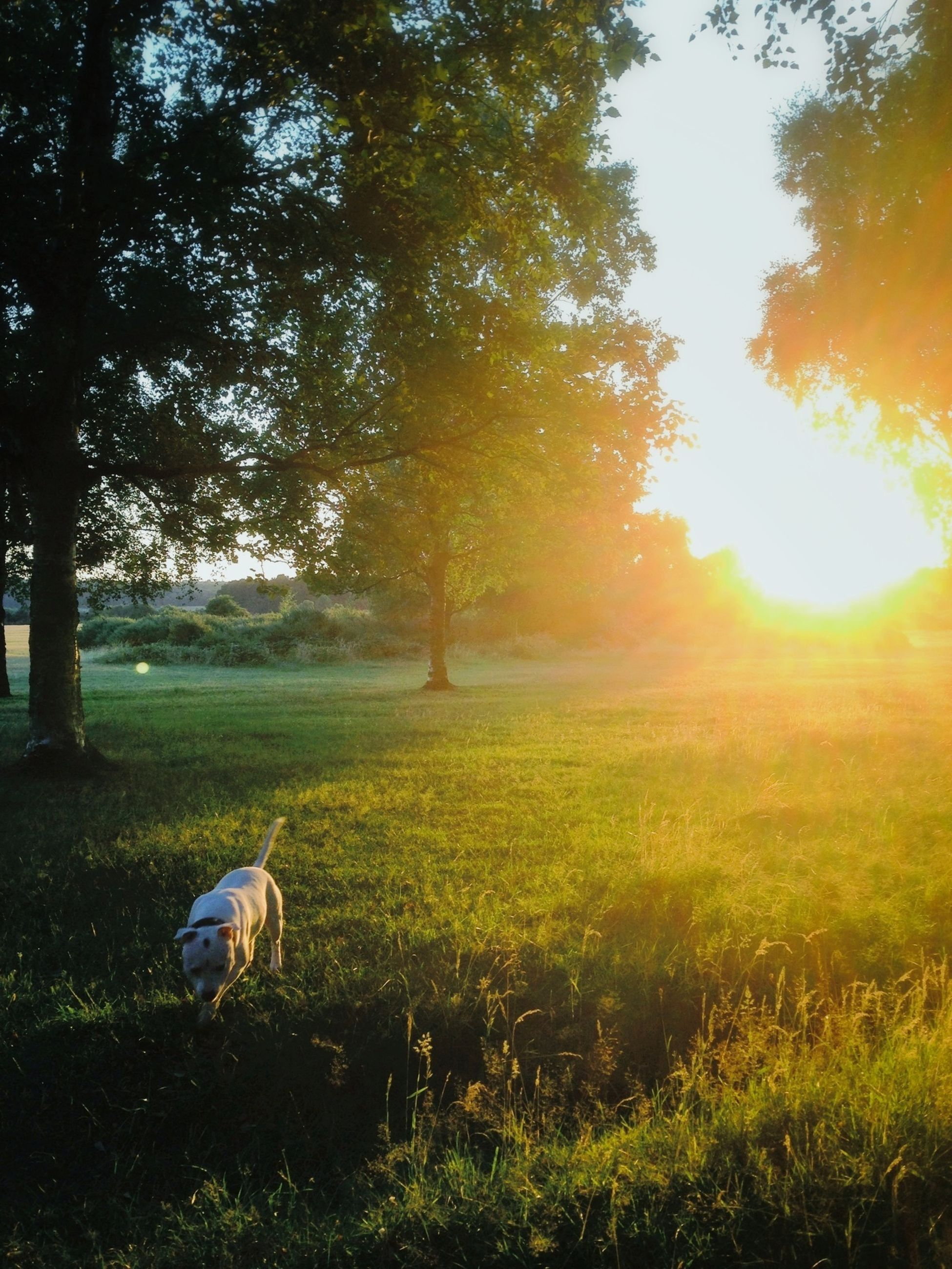 grass, animal themes, sun, tree, field, grassy, sunlight, one animal, sunbeam, sunset, nature, landscape, lens flare, tranquility, beauty in nature, growth, bird, tranquil scene, green color, domestic animals