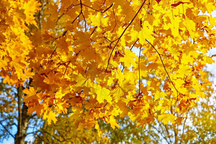 Low angle view of yellow maple leaves on tree