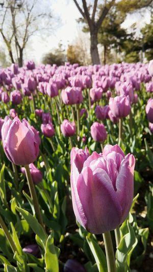 Hayalini kurduğum gün geldi. Laleler bunalan ruhuma birazcık da olsa huzur verdi. Laleler Lale Zamanı Geldi Lale Zamani Huzur Yaz Geldi Tulips Tulips Flowers Tulips Time