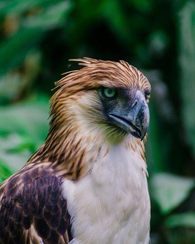 The Great Philippine Eagle Bird Bird Of Prey Beak Feather  Multi Colored Portrait Closing Perching Close-up Tropical Bird First Eyeem Photo