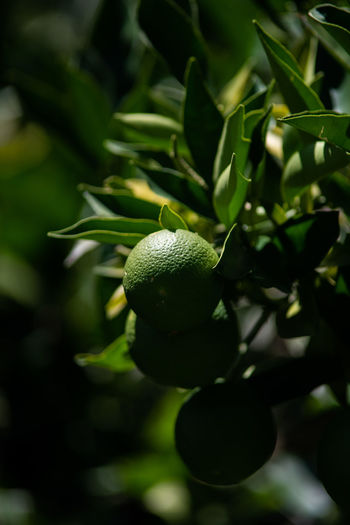 Green Color Fruit Growth Food Plant Food And Drink Healthy Eating Tree Close-up Leaf Plant Part Freshness Nature No People Focus On Foreground Day Wellbeing Citrus Fruit Beauty In Nature Outdoors Ripe