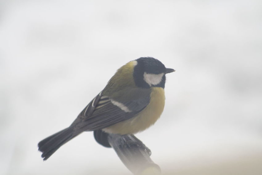 Animal Themes Animal Wildlife Animals In The Wild Bird Cinciallegra Close-up Day Freddo Full Length Great Tit Inverno Nature No People One Animal Outdoors Perching Songbird  Uccellino