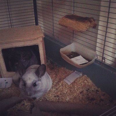They've even put some in their bowl for later! Chinchilla Mosaic Littlefeeties Cheekychins shredder sillybabies