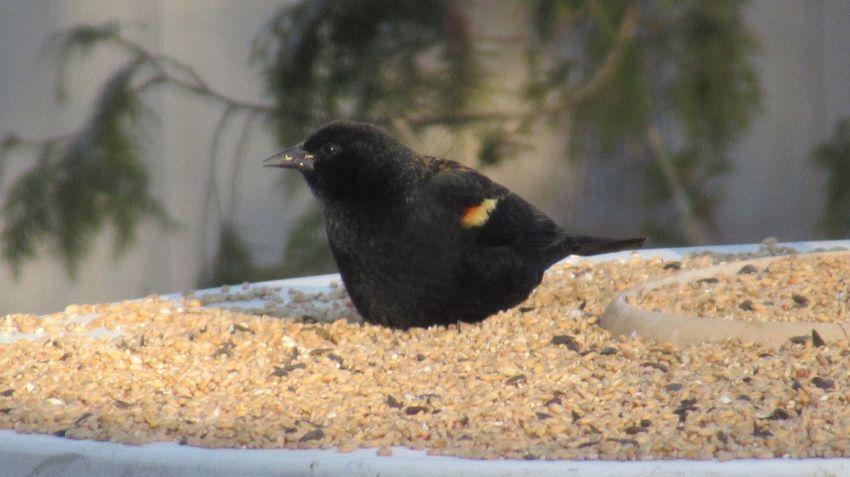 EyeEm Selects Animal Themes Animal Bird Animal Wildlife One Animal Animals In The Wild Black Color Day Nature Outdoors Raven - Bird