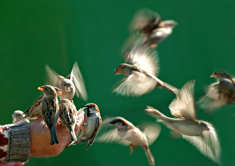Close-Up Of Cropped Hand Feeding Sparrows