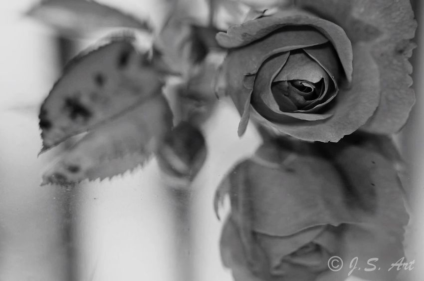 Flower Petal Rose - Flower Nature Fragility Beauty In Nature Flower Head Close-up Growth Freshness No People Water Blooming Day Pedal Black Blackandwhite Black And White Black & White Blackandwhite Photography Black And White Photography Roses First Eyeem Photo Mirror Mirrorless