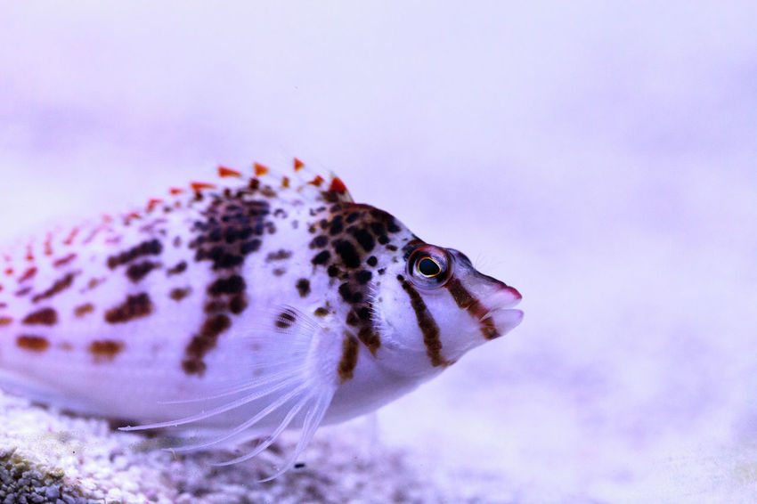 Falco hawkfish Cirrhitichthys falco perches on coral and waits for prey in a reef aquarium. Cirrhitichthys Falco Coral Reef Dwarf Hawkfish Falco Hawkfish Fish Hawkfish Marine Fish Spotted Hawkfish Tropical Fish Underwater