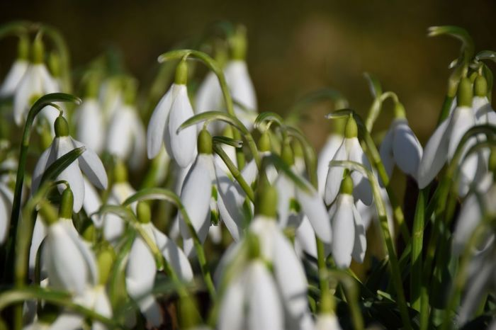 Growth Plant Nature Freshness Beauty In Nature Snowdrop No People Close-up Blooming Day Green Color Fragility Outdoors Spring Spring Flowers