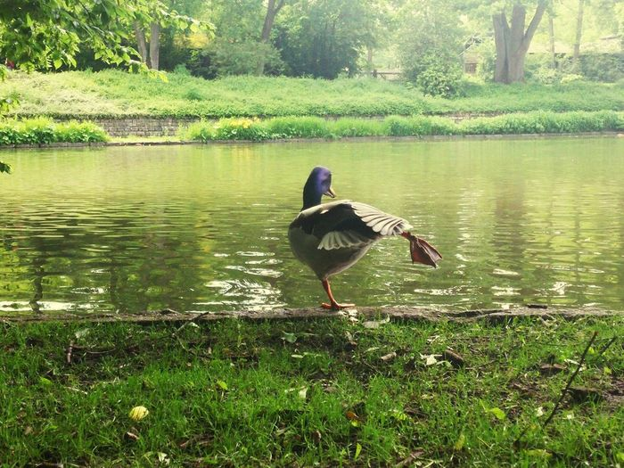 Taking Photos Eyem Nature Lover Hanging Out In Nature Duck Love Migrating Birds Morning Rituals Eyemphotography