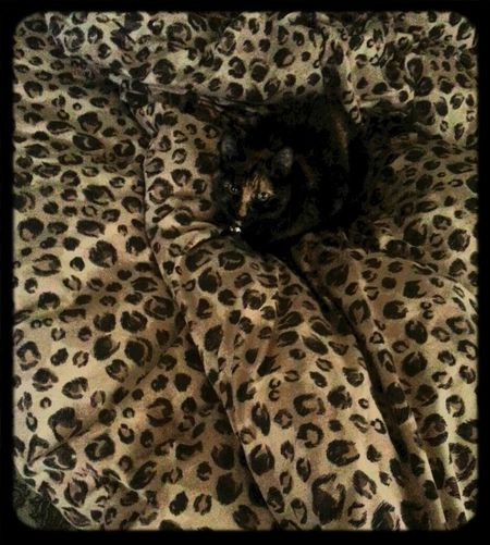 eye of the tiger Camoflauge Cat on the bed