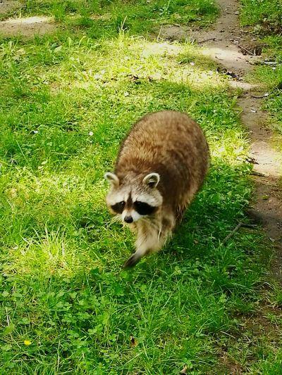 Waschbär Kaisergarten Oberhausen Kaisergarten Waschbär Waschbären Racoon Racoons Field Grass Green Color Raccoon Pets The Great Outdoors - 2018 EyeEm Awards