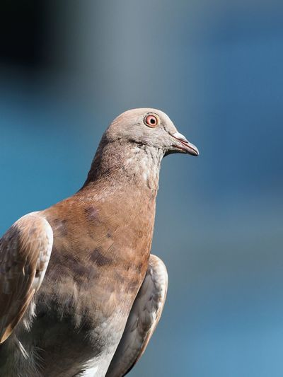 Close-up of pigeon against clear sky