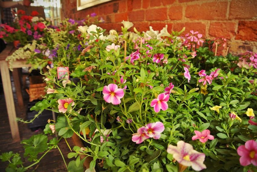 Abundance Backyard Beauty In Nature Blooming Blossom Botany Brick Wall Cirencester Close-up Flower Flower Head Freshness In Bloom Nature Plant Vases Yard Live Love Shop