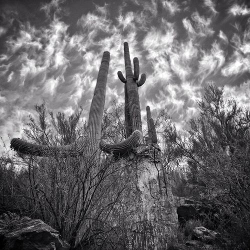 Low angle view of saguaro cactus against cloudy sky
