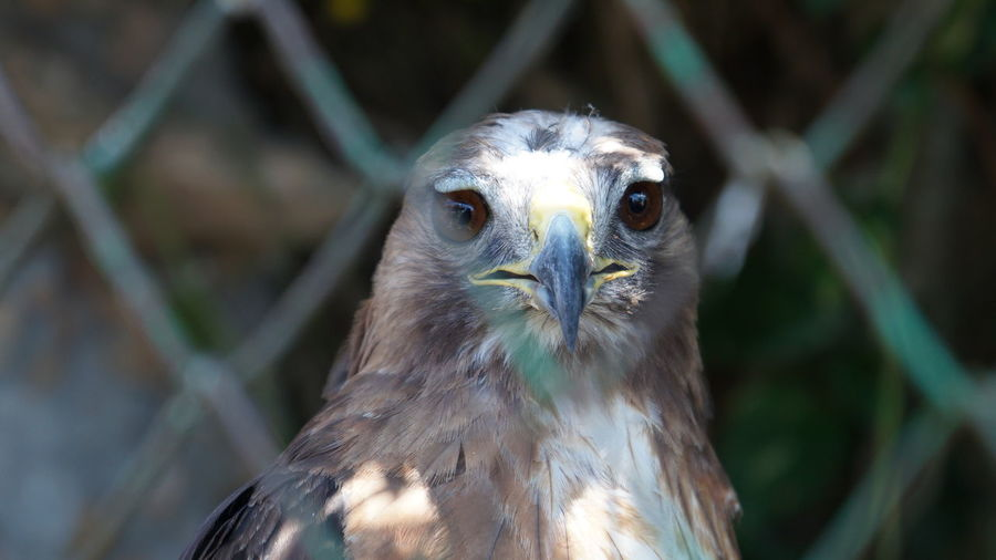 Close-up of falcon seen through chainlink fence