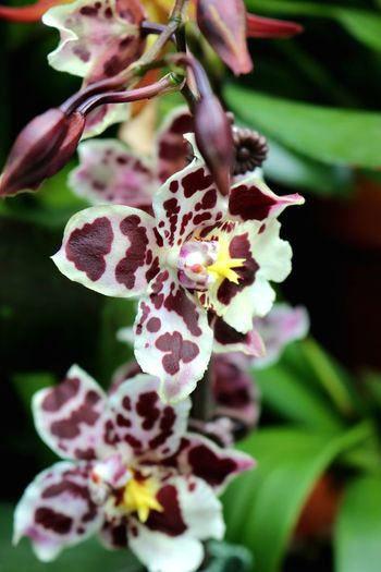 Burgundy and white spotted orchid. Orchid Orchid Blossoms Beauty In Nature Beauty In Nature Blooming Burgundy Color Close-up Day Flora Flower Flower Head Fragility Freshness Growth Indoors  Nature No People Orchid Flower Petal Plant Rare Stamen Yellow Centered Flowers