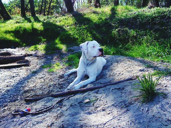 Dogo argentino One Animal Animal Themes Dog Pets Domestic Animals Sitting Mammal Full Length Front View Loyalty Zoology Animal Pampered Pets Relaxation Outdoors Day Looking