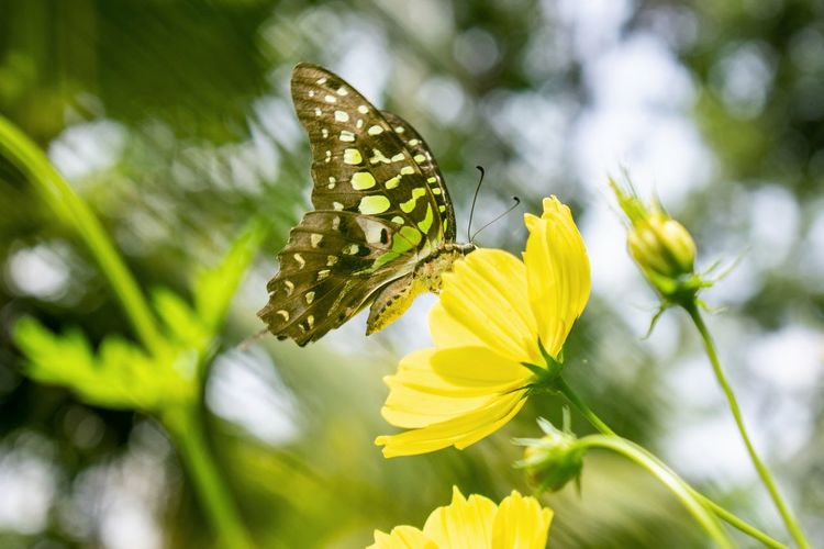 Butterfly Macro Nature Cosmos Flower Yellow Cosmos Yellow Flower Yellow Close-up Leaf Plant Flower Head Flower Butterfly - Insect Full Length Yellow Perching Insect Leaf Petal Close-up Flowering Plant Botanical Garden Plant Part Plant Life Blossom Pollination Blooming Tropical Flower Botany Pollen