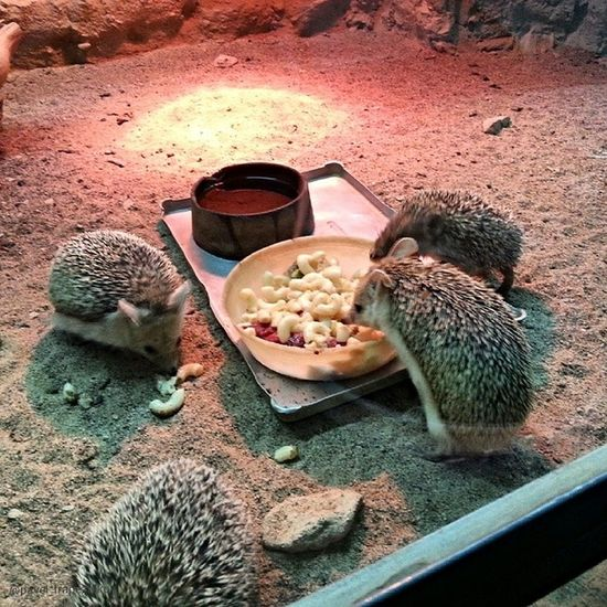 20140730 , Казахстан , алматы . Алматинский зоопарк . Ежики:-)/ Kazakhstan, Almaty. Almaty Zoo. Hedgehogs:-)