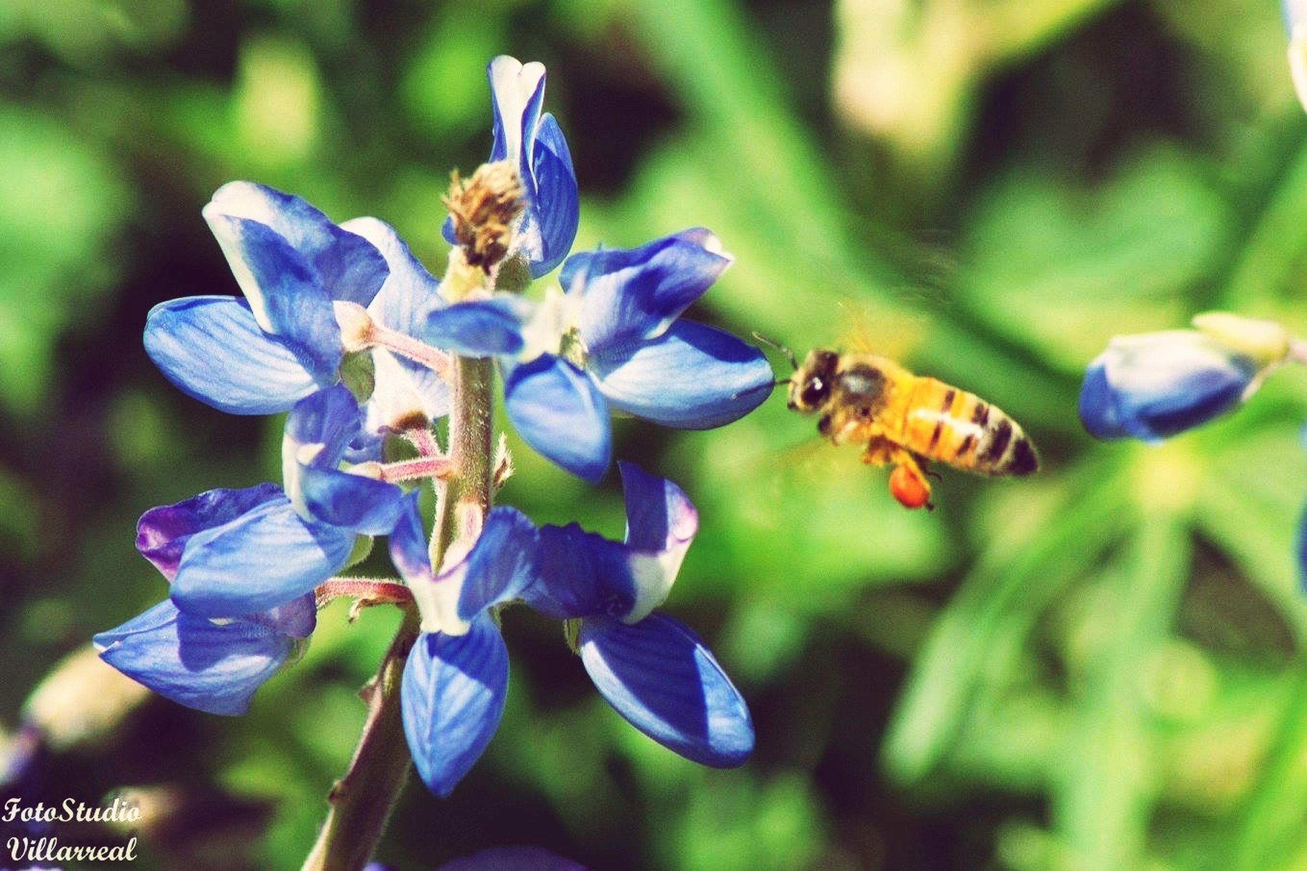 flower, fragility, freshness, close-up, growth, petal, beauty in nature, flower head, focus on foreground, blue, plant, nature, springtime, purple, insect, selective focus, in bloom, flying, day, pollination, blossom, blooming, botany, formal garden, honey bee, symbiotic relationship, buzzing
