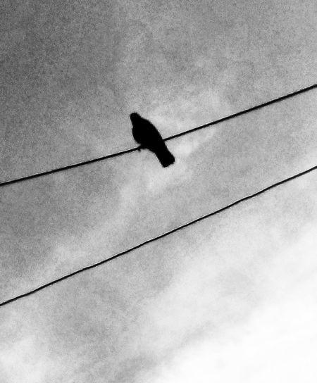 Acechando el bullicio. Bird Perching Raven - Bird Cable Silhouette Electricity  Crow Bird Of Prey Power Line  Telephone Pole First Eyeem Photo