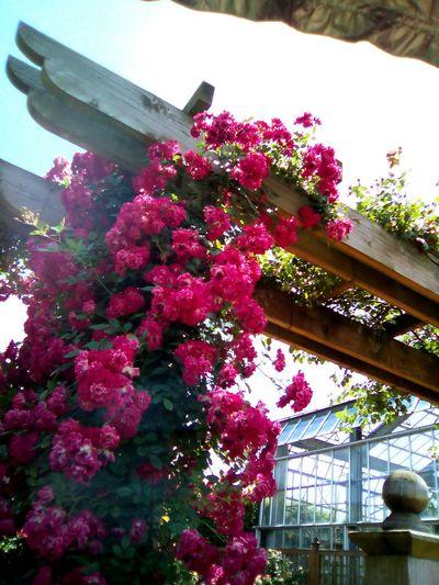 京成バラ園 京成バラ園 June 2016 Rosegarden Beautiful Beautifulgarden Roses