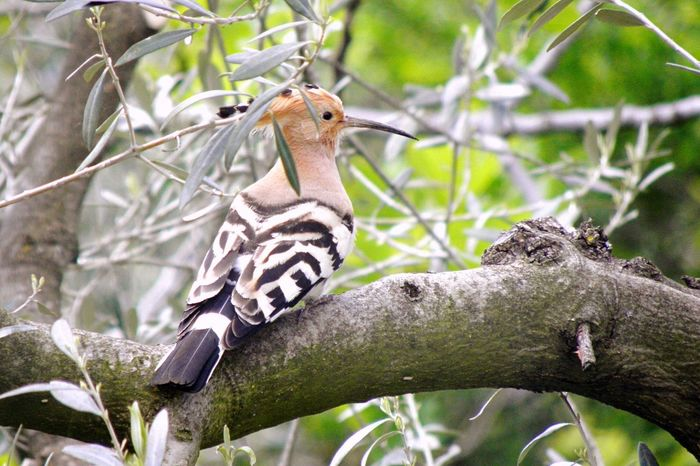 EyeEm Selects Animal Wildlife Animals In The Wild Tree Branch One Animal Bird Day Focus On Foreground Nature No People Animal Themes Looking At Camera Outdoors Mammal Perching Close-up Hoopoe Pet Portraits
