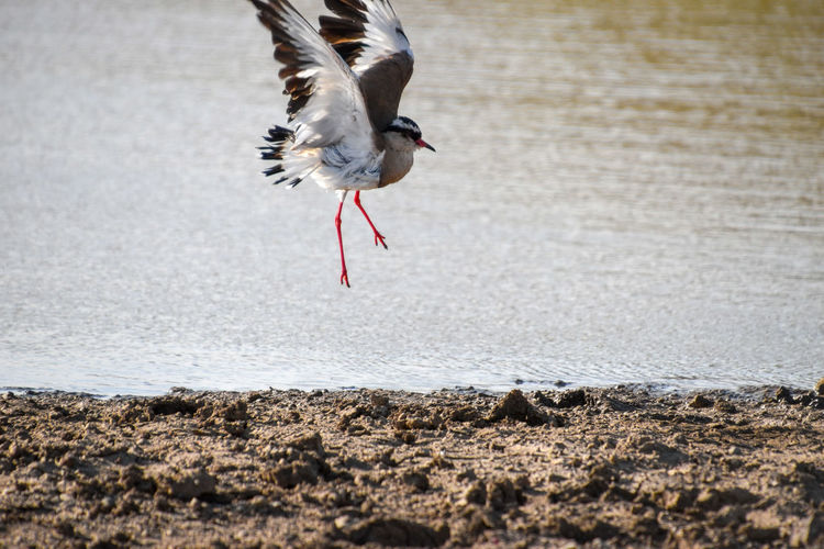 Africa Kenya Animal Themes Wildlife Bird One Animal Spread Wings Flying Water No People Day Nature Motion Animals In The Wild Animal Outdoors Selective Focus Mid-air Flapping