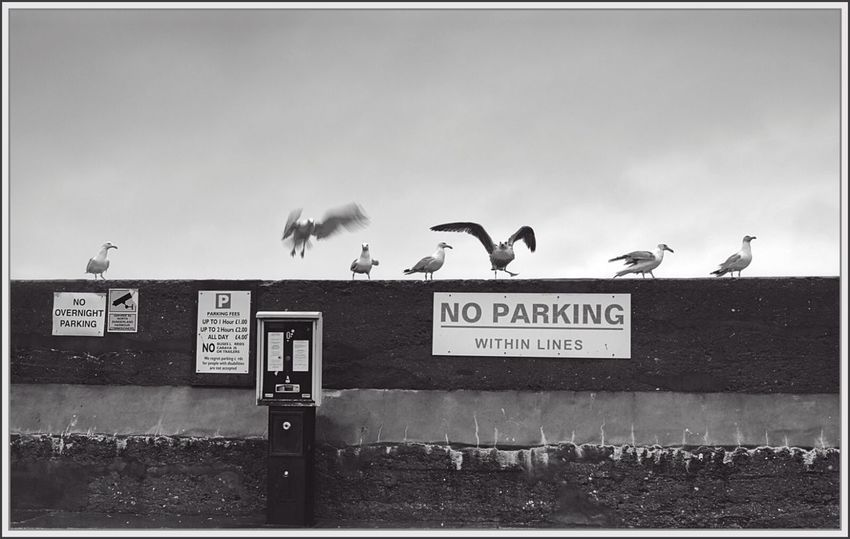 No Parking within lines - I like how every bird's pose radiates an appropriate attitude at authority. Seahouses Blackandwhite Birds Seagulls Authority