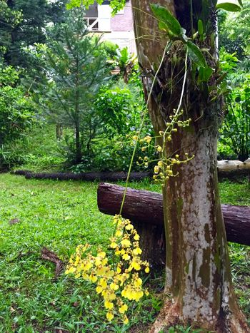 Nature_collection Tree Orchid Native Orchid! Nativebeauty  EyeEm Flower Yellow Flower Brazilian Nature