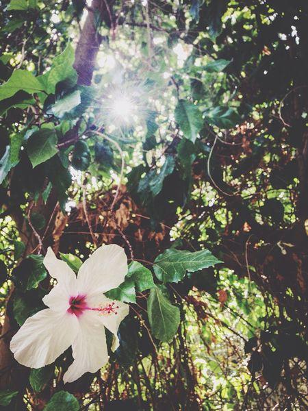 Tunisia Hibiscus Sunshine Botanical Gardens 🌺