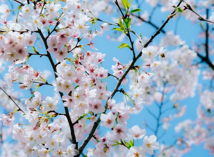 The most beautiful cherry blossoms Working Real People Looking Down Day Technology Indoors  Business Adults Only