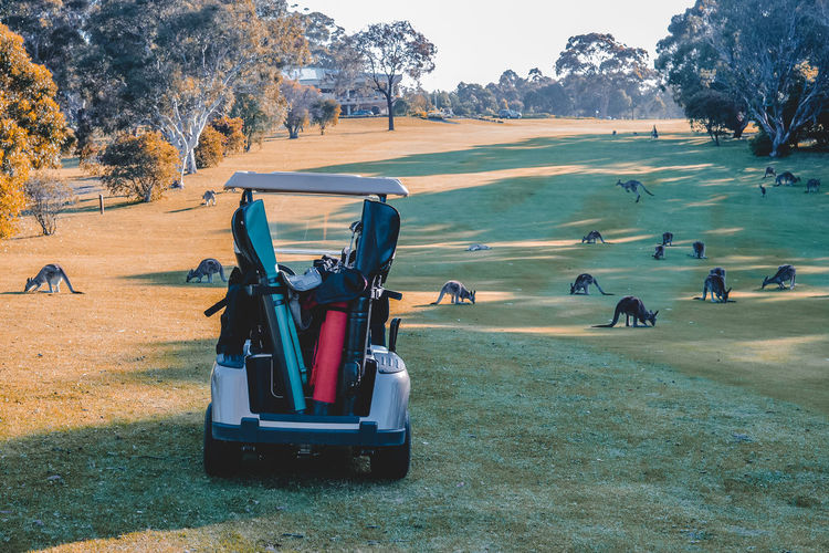 Golf Course Vertebrate Animal Wildlife Group Of Animals Golf Cart Leisure Activity Golf Sport Nature Day Tree Grass Outdoors Golf Buggy Golf Club Kangaroos Golf Course Golden Hour Travel Sports