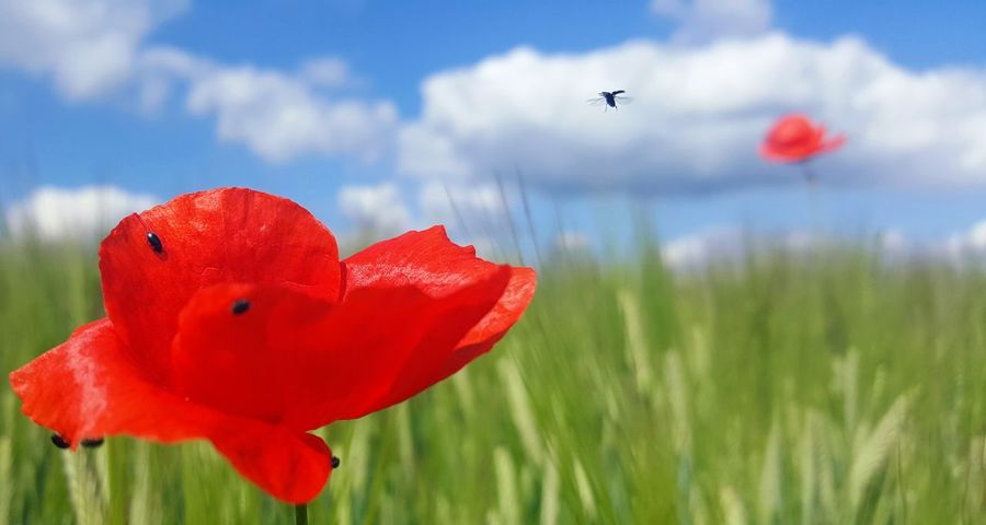 Flower hopping 🐞 Poppy Red Flower Flying Sky Nature Plant Grass Growth Mid-air Cloud - Sky Day Uncultivated No People Outdoors Rural Scene Beauty In Nature Fragility Close-up Flower Head The Great Outdoors - 2017 EyeEm Awards Bugs Bugs Life Klatschmohn