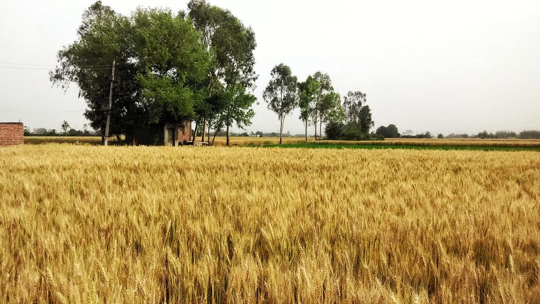 Agriculture Tree Farm Growth Rural Scene Field Crop  Nature No People Cereal Plant Sky Day Landscape Outdoors Scenics Beauty In Nature Wheat Hdr Photography Nature Sunbeam Leaf Plants Nature's Beauty!! Tinyworld Survival