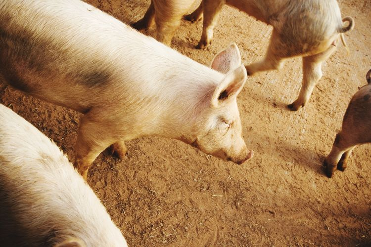 High angle view of pigs on field at farm