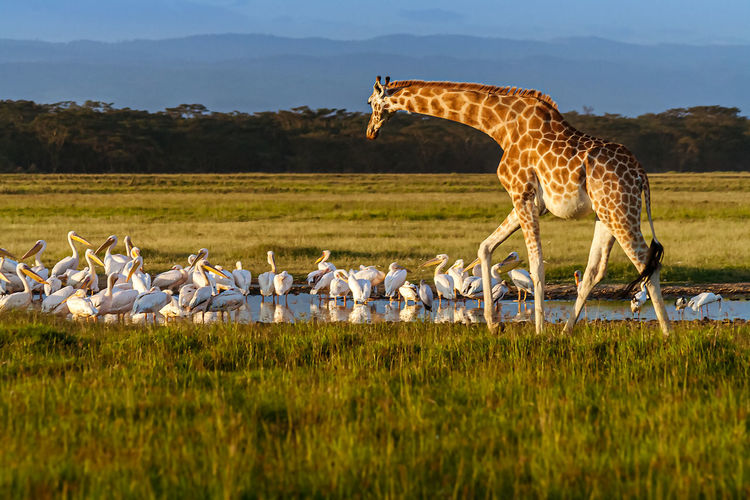 Giraffe and pelicans by pond in forest