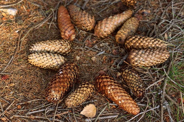 Nature Close-up Plant Land Dry Freshness Field Still Life Backgrounds Focus On Foreground Cone Spruce Cone