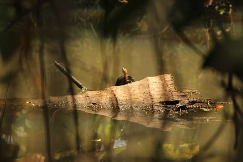 Tortoise Water One Animal Animal Themes Animal Animals In The Wild Reflection Animal Wildlife Nature Lake Vertebrate Focus On Foreground Invertebrate Day Close-up Insect No People Outdoors Selective Focus Waterfront