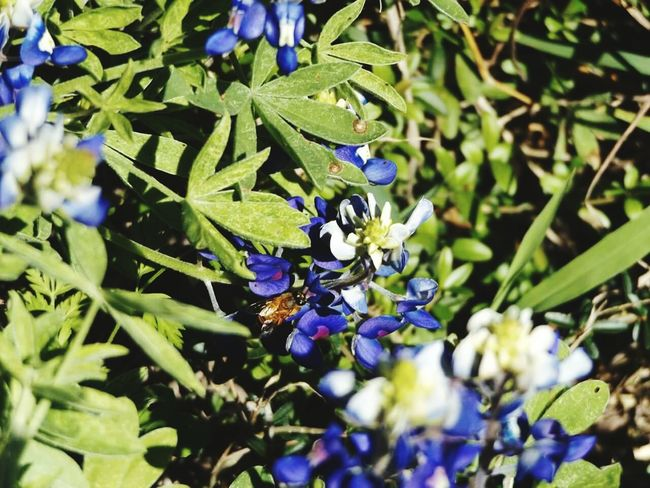 Bluebonnets Texasbluebonnets Eye4photography  Nature_collection Amaturephotography Texaslife Flower Collection Insect Photography In Your Face Photography Beeandflower Bee 🐝 Texas Landscape Insects Beautiful Nature Insect Paparazzi Nature On Your Doorstep Eyem Nature Lovers  Nature Photography